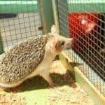 Can you keep a pet hedgehog outside