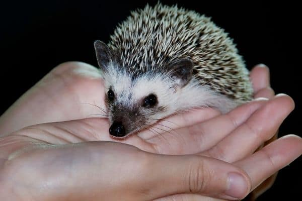 Do hedgehogs have whiskers?