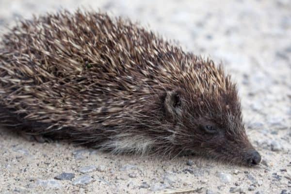 Do hedgehogs have ears
