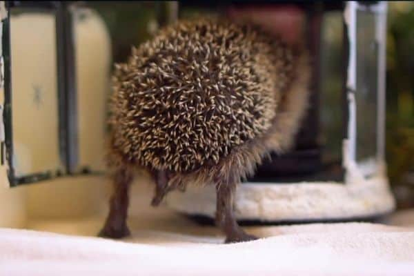 Do hedgehogs have tails