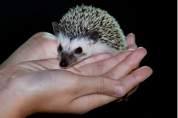 How Big Do Pet Hedgehogs Get