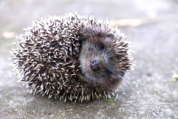 How to tell if your hedgehog is starting to hibernate