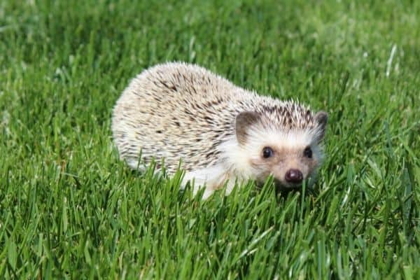 Can you take a pet hedgehog outside occasionally