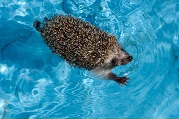 hedgehog swimming in pool