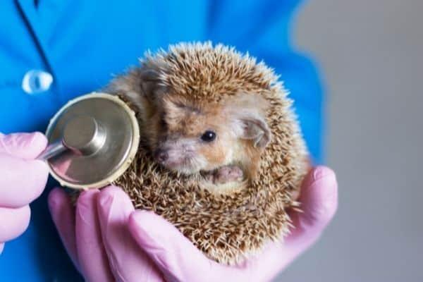 How to find a hedgehog vet