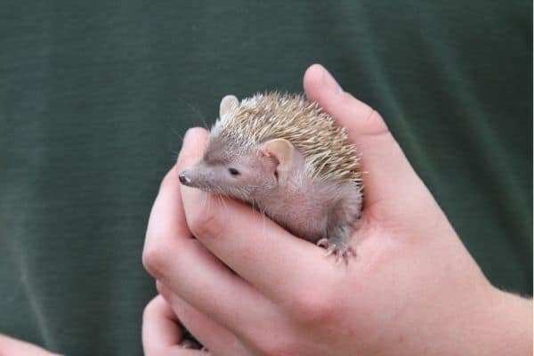 9 Things to Know Before Getting a Hedgehog