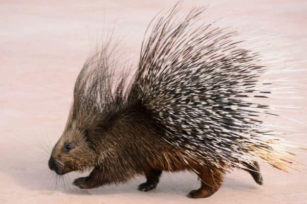 Are hedgehogs related to porcupines?