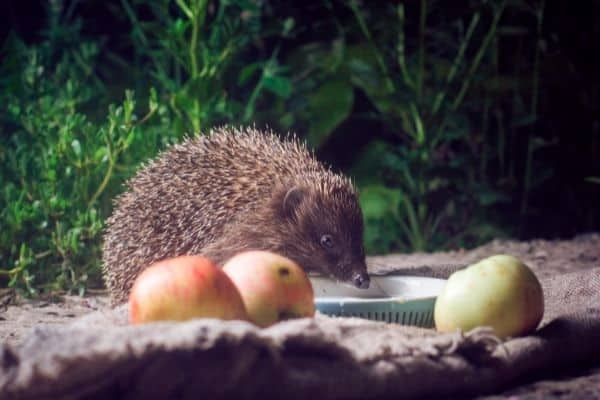 Wild Hedgehog Live Streams - Wildlife Cameras