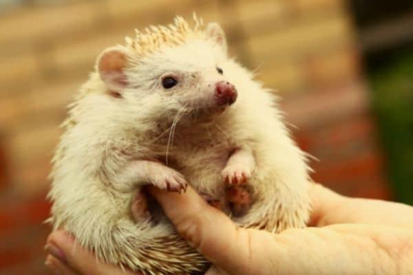 Most common hedgehog illnesses